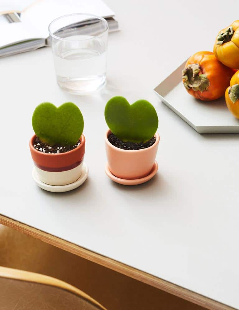 Hoya Heart Plant - WorkwearToronto.com - Best Gift Ideas For Her - Christmas Gifts 2020